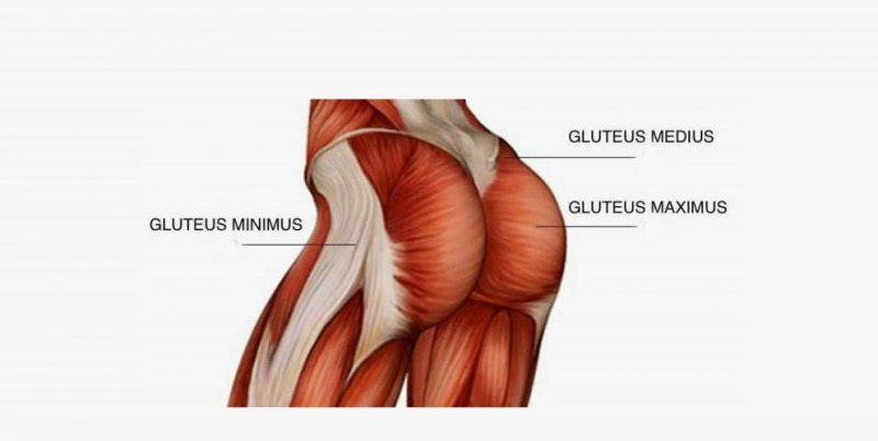 Muscles in the Glutes